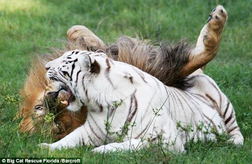 สิงโตกับเสือ