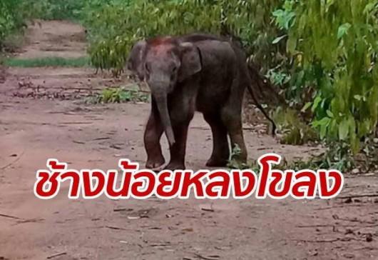 """แกะรอยตามหา """"ช้างป่าน้อย"""" ชาวบ้านเห็นสภาพผอมซูบ คาดหลงโขลง"""